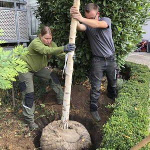 Neupflanzung oder Ersatzpflanzung eines Baumes.